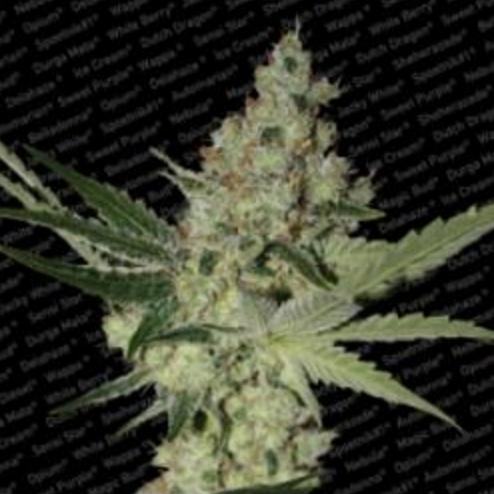 Acid - Paradise Seeds 3 wietzaden