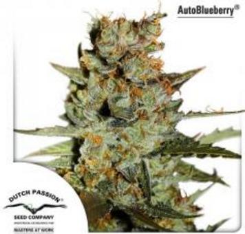 AutoBlueberry - Dutch Passion 1 wietzaadje