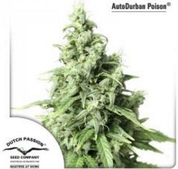 AutoDurban Poison - Dutch Passion 1 wietzaadje