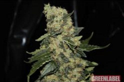 Berry Delight - GreenLabel 5 wietzaden