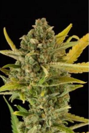 Critical Cheese Autoflowering - Dinafem 1 wietzaadje