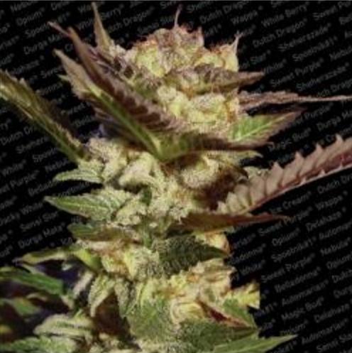 Durga Mata II CBD - Paradise Seeds 5 wietzaden