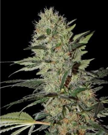 Exodus Cheese Autoflowering CBD - Greenhouse 5 wietzaden