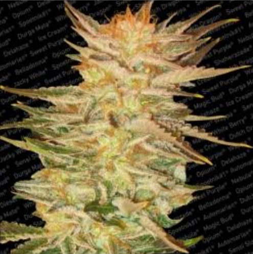 Icecream - Paradise Seeds 3 wietzaden