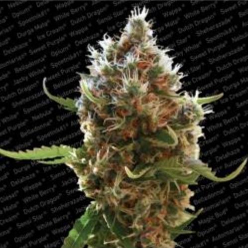 Lucid Bolt - Paradise Seeds 5 wietzaden