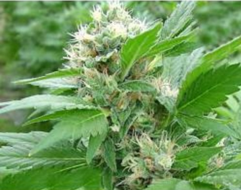 Magic Bud - Paradise Seeds 5 wietzaden