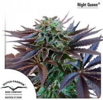 Night Queen - Dutch Passion 5 wietzaden