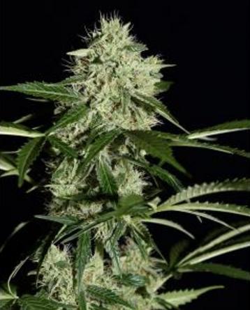 Northern Light Autoflowering - Greenhouse 5 wietzaden