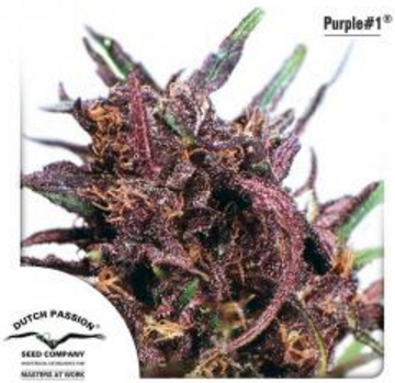 Purple #1 - Dutch Passion 3 wietzaden