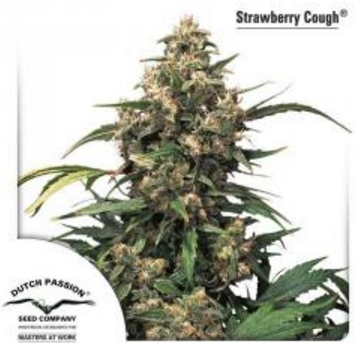 Strawberry Cough - Dutch Passion 1 wietzaadje