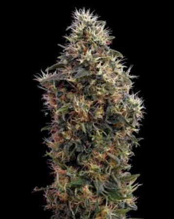Sweet Mango Autoflowering - Greenhouse 3 wietzaden