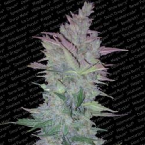 Vertigo - Paradise Seeds 5 wietzaden