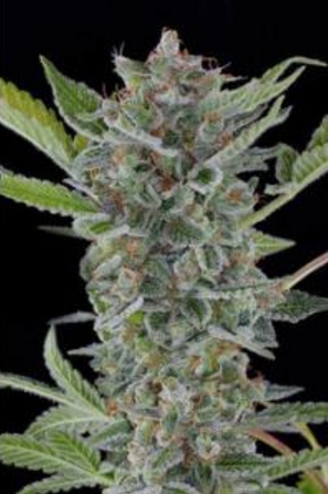 White Widow autoflowering - Dinafem 1 wietzaadje